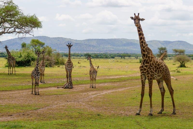 Jirafas en Serengeti fotografía de archivo