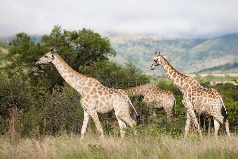 Jirafas en Suráfrica fotografía de archivo