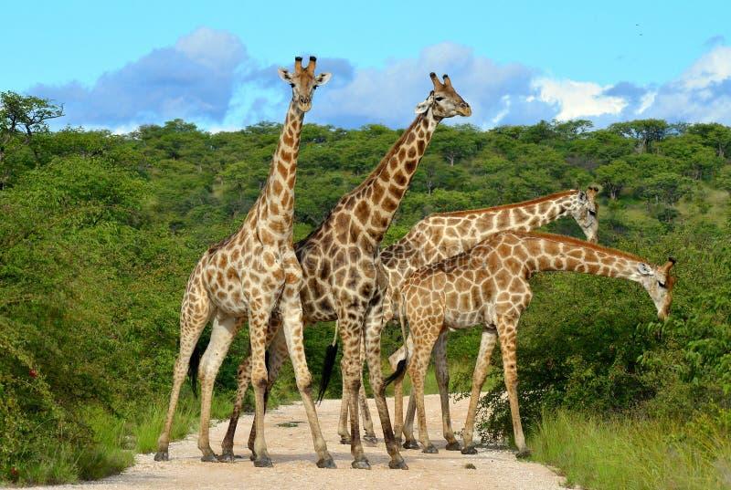 Jirafas que atestan, Namibia imagen de archivo libre de regalías
