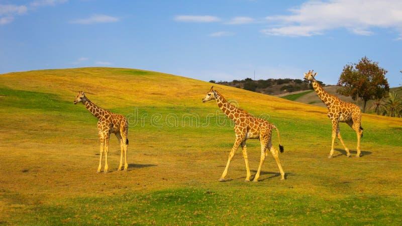 Jirafas que pastan en un parque del safari fotos de archivo libres de regalías