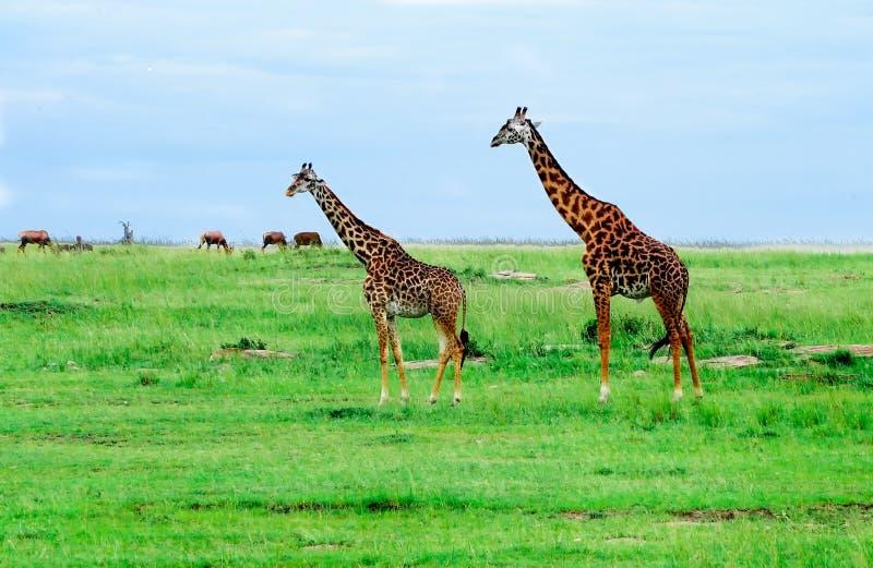Jirafas que se colocan en sabana africana. En safari. imagen de archivo libre de regalías