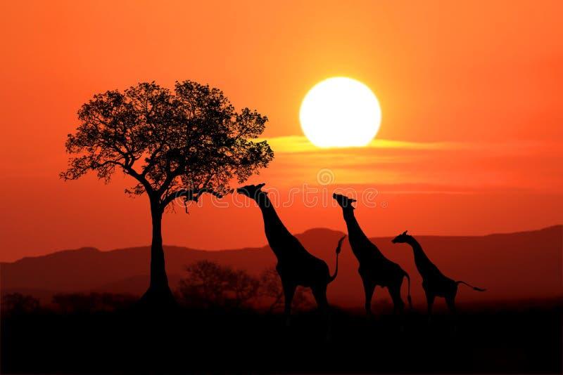 Jirafas surafricanas grandes en la puesta del sol en África