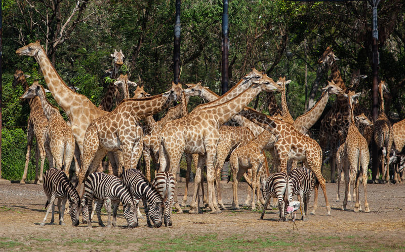 Jirafas y cebras en Safari World imagenes de archivo