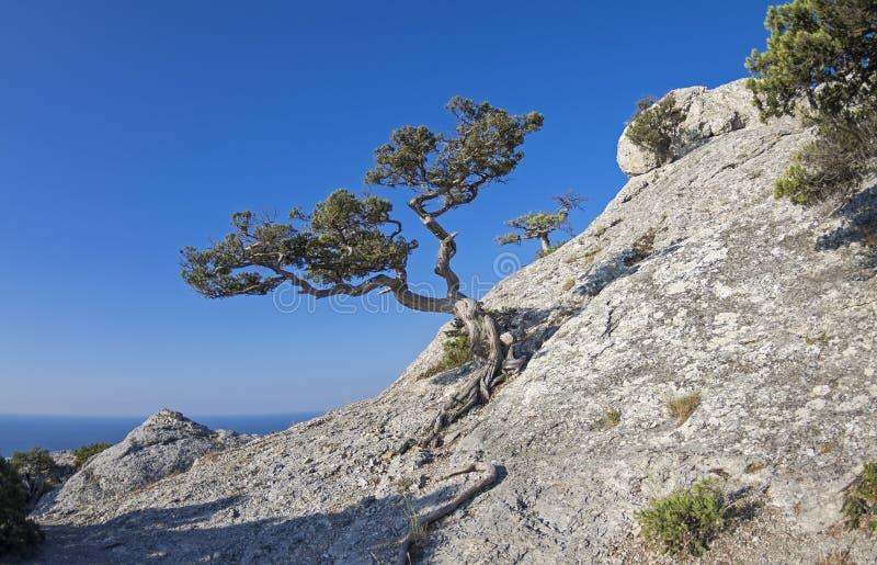 Jjuniper-Baum auf dem Bergabhang lizenzfreie stockfotografie