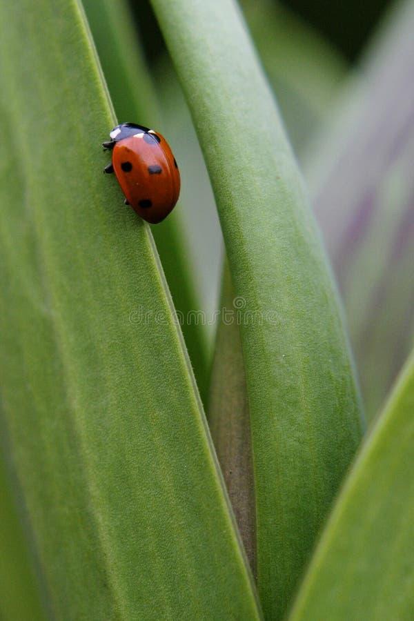 Download Joaninha imagem de stock. Imagem de ladybird, cute, animal - 112691