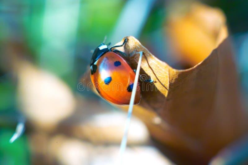 Joaninha, afortunado, insetos, natureza, besouro imagens de stock royalty free