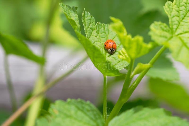 Joaninha alaranjada, joaninha que rasteja na folha verde do corinto no th imagem de stock