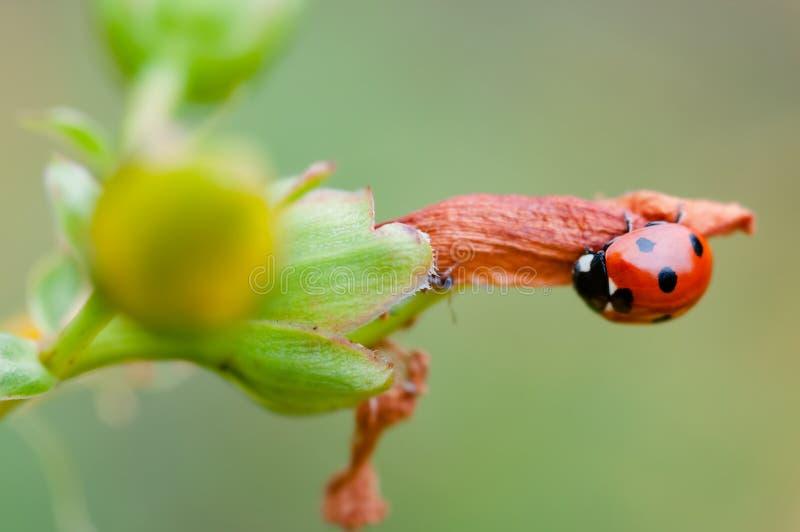 Joaninha da joaninha que caça um inseto da praga da formiga que come o erro foto de stock