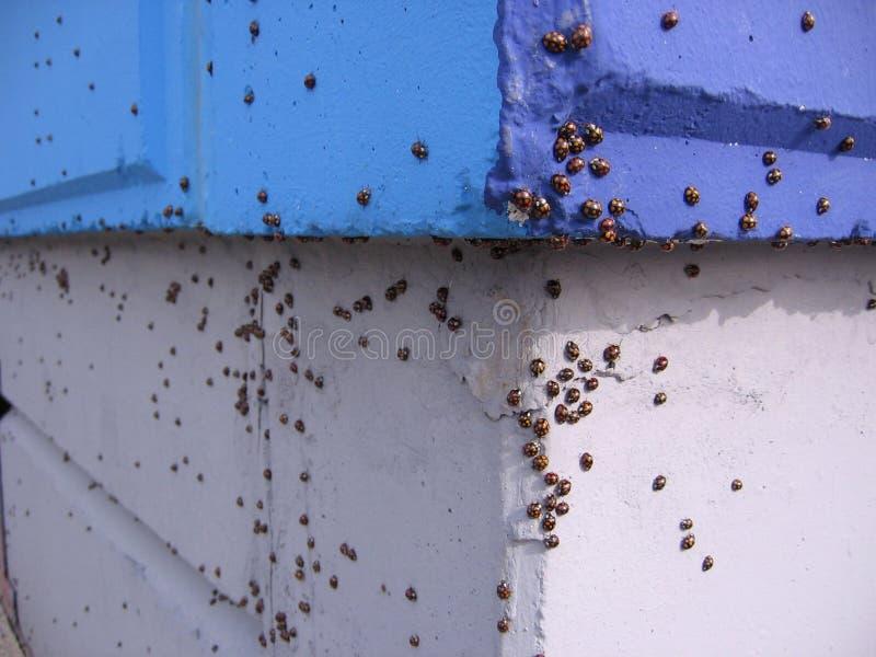 Joaninha de muitos besouros dos insetos que senta a acumulação da parede de larvas fotos de stock
