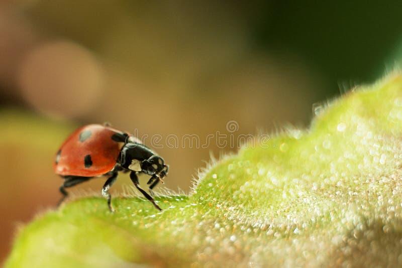 Joaninha em uma folha verde, em uma fotografia macro, em um plano do close-up, em um gerânio da planta e em um inseto fotos de stock