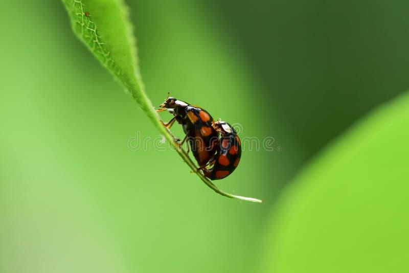 Joaninha na folha verde O processo de reprodução dos insetos foto de stock royalty free