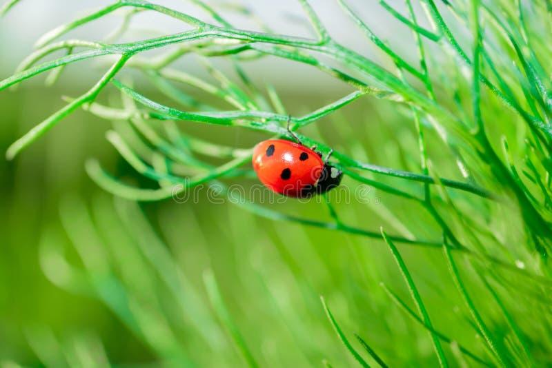 Joaninha nas folhas da camomila Close up dos insetos na natureza imagem de stock