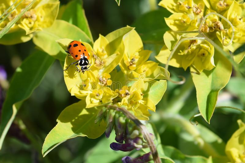 Joaninha no Wildflower imagem de stock