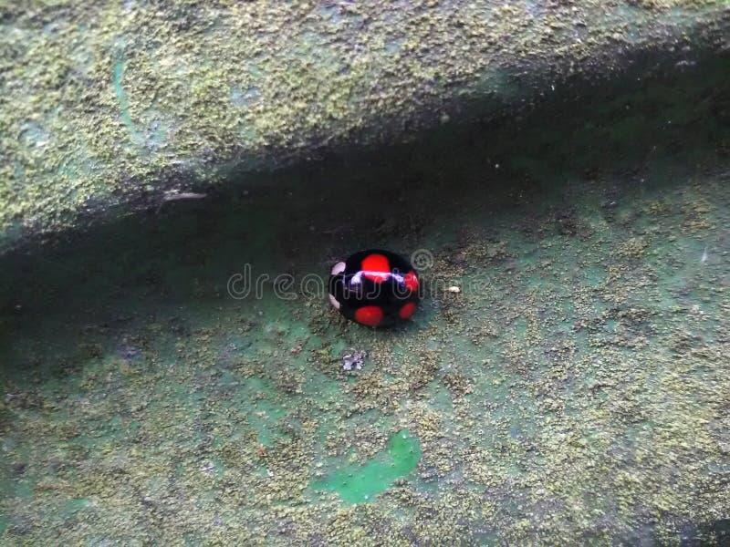 Joaninha preto com pontos vermelhos imagens de stock