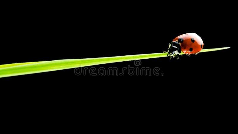 Joaninha que anda em uma lâmina da grama verde imagem de stock royalty free