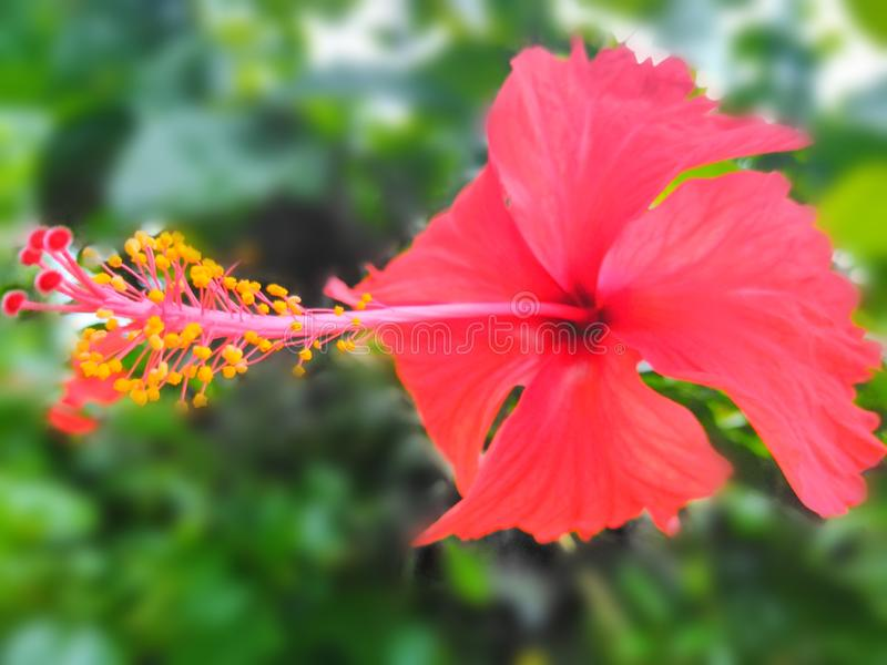 Joba phool, bild för tapet för bakgrund för hibiskusblommasuddighet arkivbilder