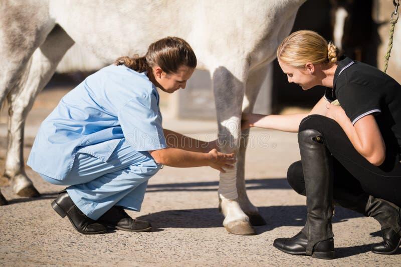 Jockey, der den Tierarzt verbindet Pferdebein betrachtet stockbild