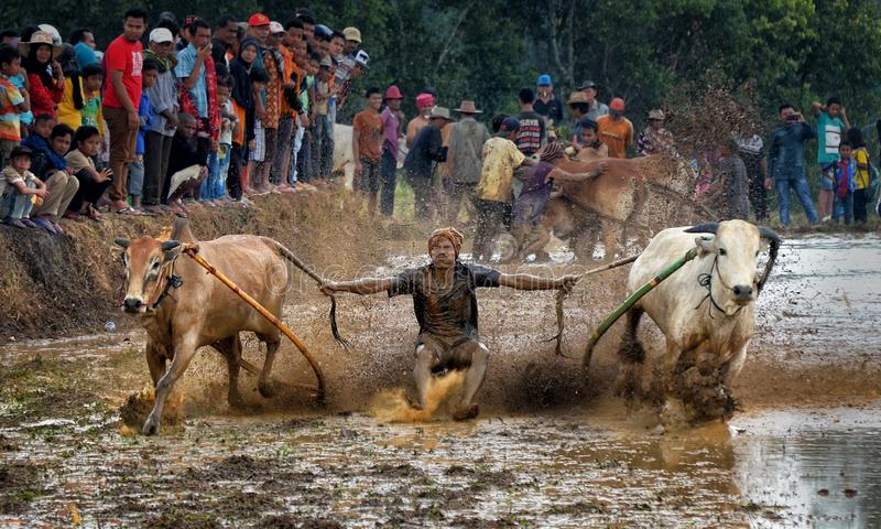 Traditional bull race Pacu Jawi festival on October 2015 in Tanah Datar, West Sumatera, Indonesia. Action one of jockey in Traditional bull race Pacu Jawi royalty free stock images