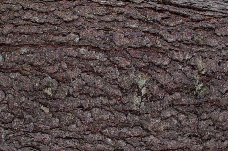 Jodły barkentyna z pionowo rozchyleniami Naturalny tło fotografia royalty free