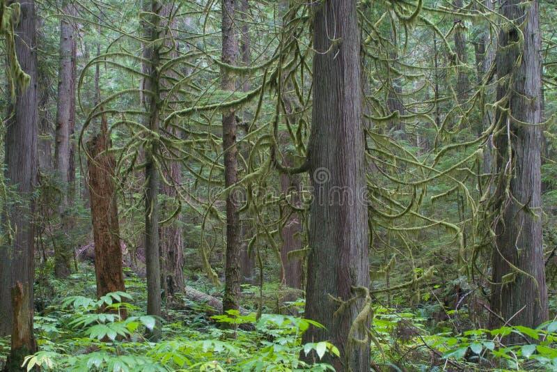 jodły douglasa podeszczowi drzew leśnych obrazy stock