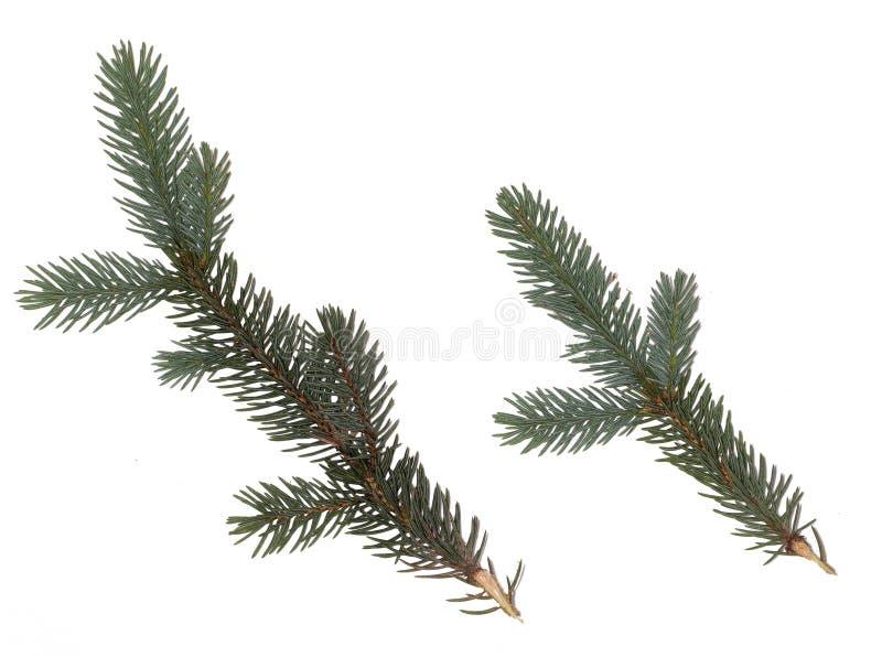 Jodły gałąź na białym tle zielona jedlinowego drzewa gałązka zdjęcia stock