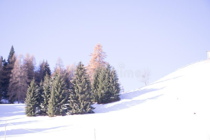 Jodły i modrzewie w śniegu obrazy royalty free