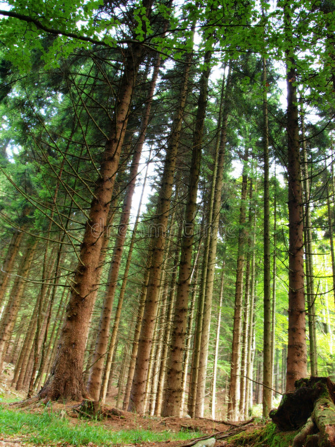 jodły wysokogórskiej las zdjęcia royalty free