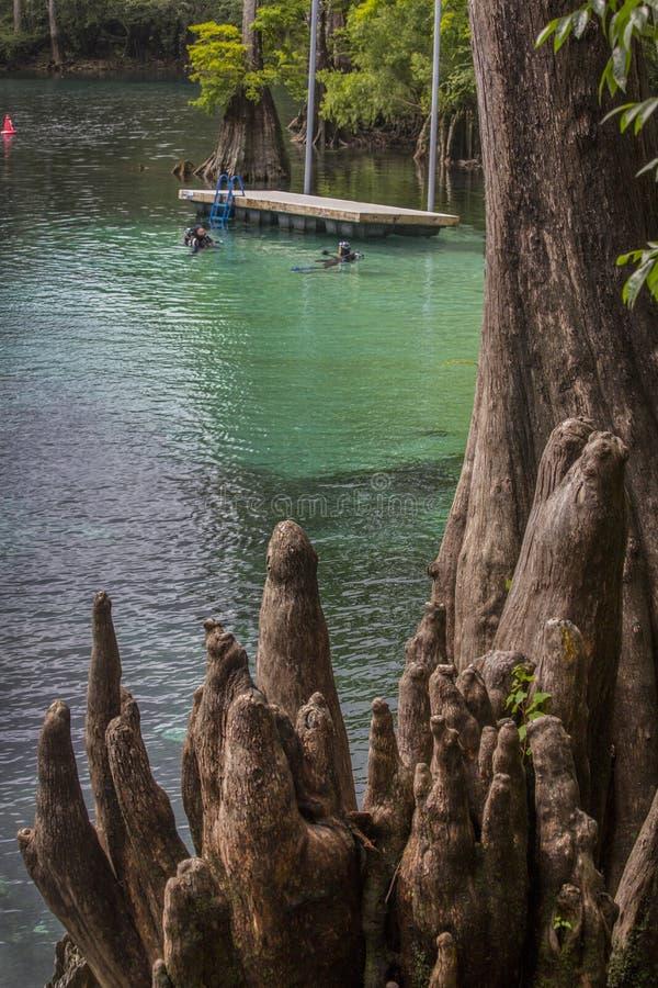Joelho de Cypress - mergulhadores nas molas de Morrison foto de stock royalty free