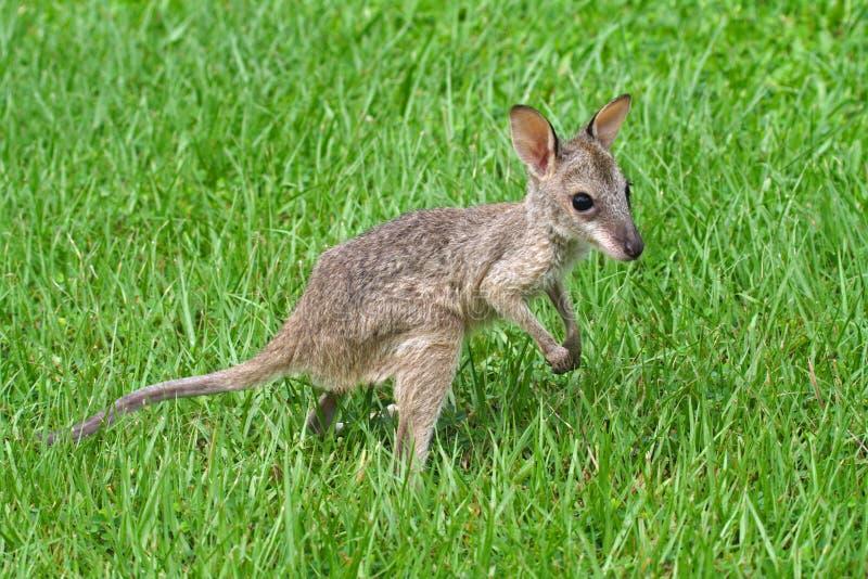 Joey agile de wallaby, stationnement national de Kakadu photo stock