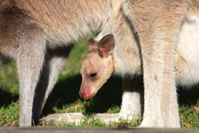 Joey dans la poche de kangourou images stock