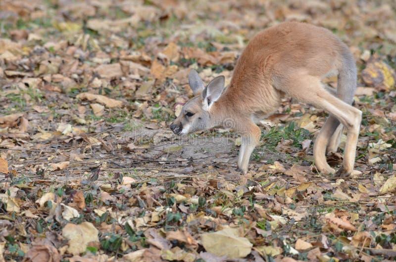 Joey 3 de kangourou photo libre de droits