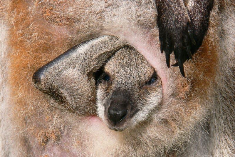 Joey de kangourou images stock