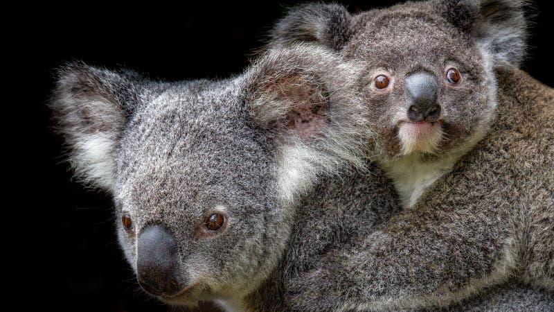 Joey de transport de mère de koala sur elle de retour photo libre de droits