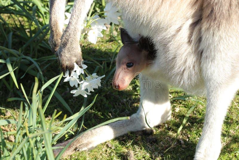 Joey nel sacchetto del canguro fotografie stock