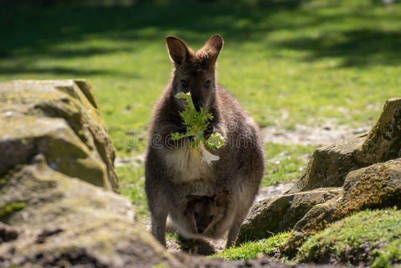 Joey no malote de Bennett Wallaby foto de stock
