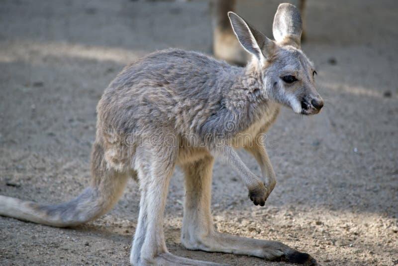 Joey rouge de kangourou images libres de droits