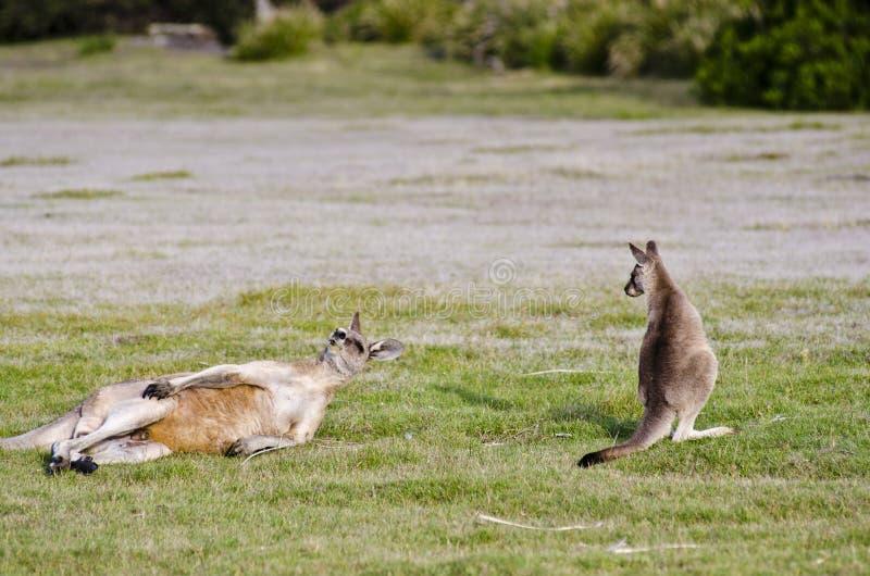 Joey Uhren, während erwachsener Känguru löscht lizenzfreies stockfoto