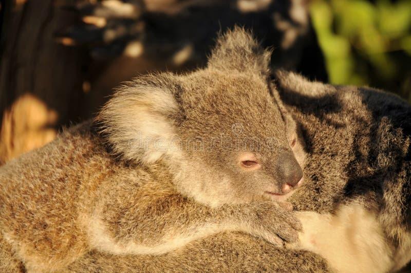 Joey van de koala ligt op de rug van haar moeder royalty-vrije stock afbeeldingen