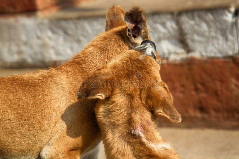 Jogando cães novos fotografia de stock