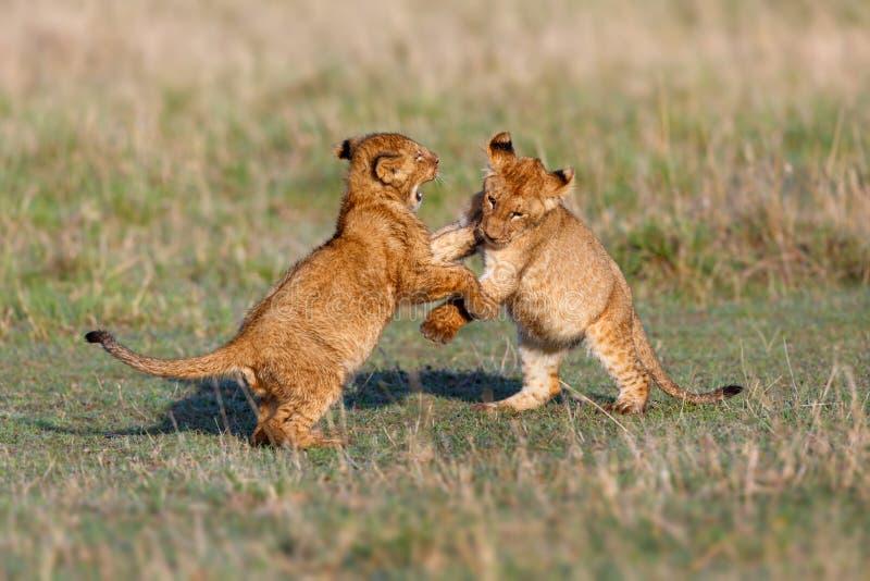 Jogando filhotes de leão imagem de stock royalty free
