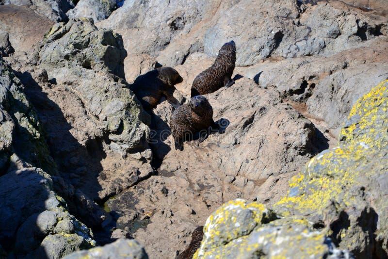 Jogando leões de mar de Nova Zelândia imagem de stock royalty free