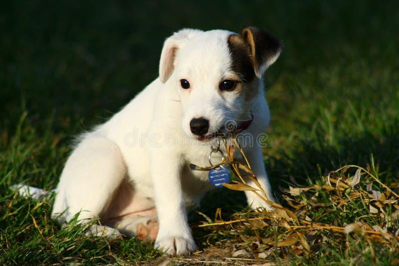Download Jogando O Animal De Estimação 5 Ilustração Stock - Ilustração de jaque, puppy: 10063191