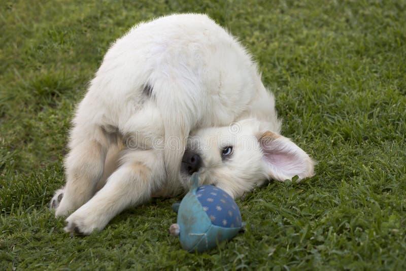 Jogando o cachorrinho do golden retriever fotos de stock