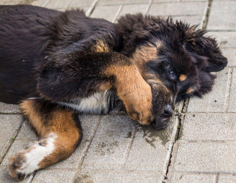 Jogando o cachorrinho do mastim tibetano imagens de stock royalty free