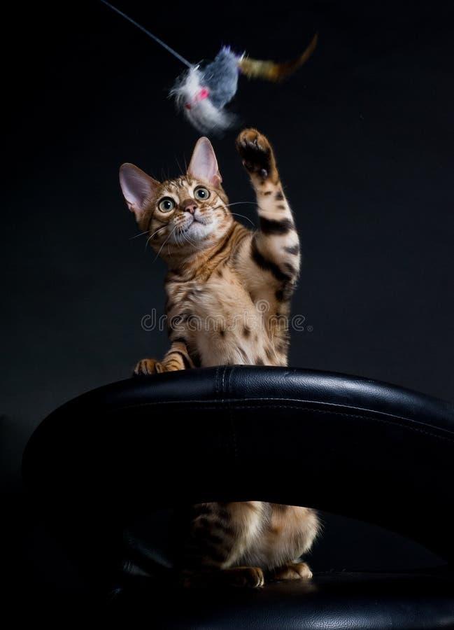 Jogando o gato fotos de stock royalty free