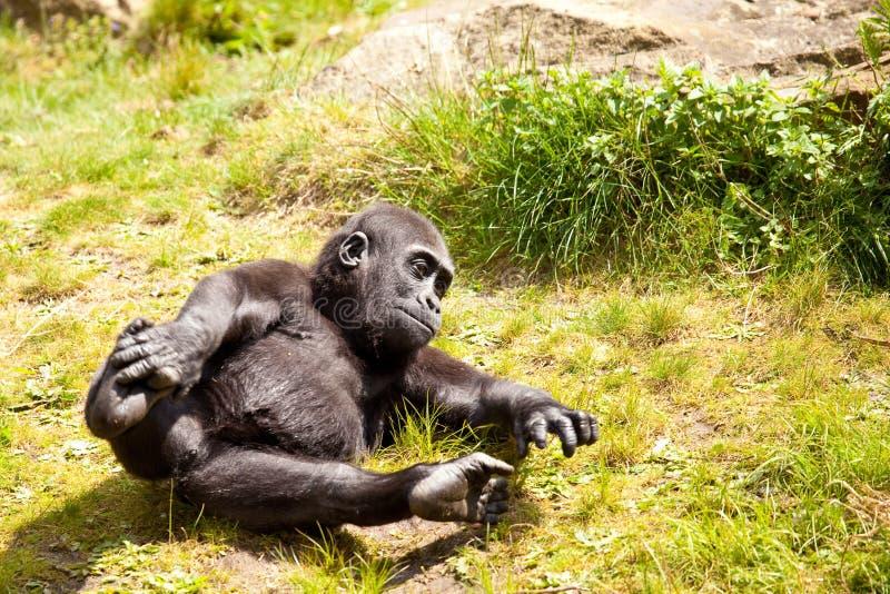 Jogando o gorila do bebê imagens de stock