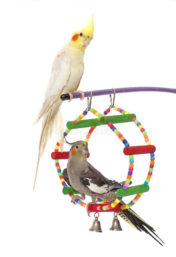 Jogando o periquito e o Cockatiel imagens de stock