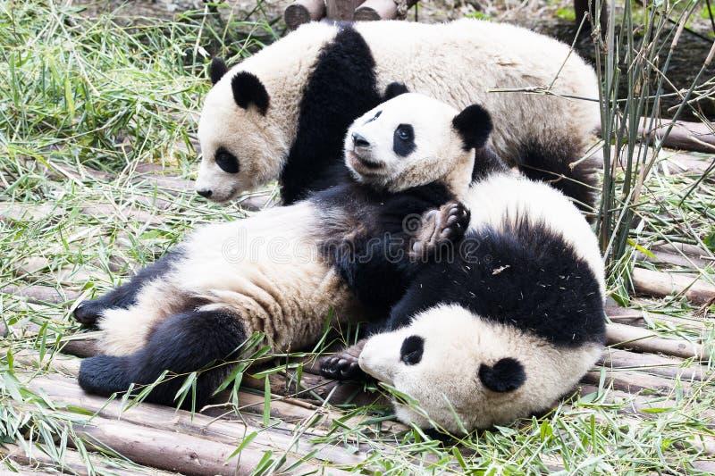 Jogando pandas fotos de stock