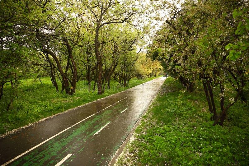 Jogging ślad mokry po deszczu, brać prysznić z białymi spadać czereśniowymi płatkami zdjęcie stock