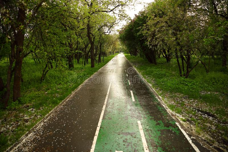 A jogging track wet after rain, showered with white fallen cherry petals in a blossoming park royalty free stock images